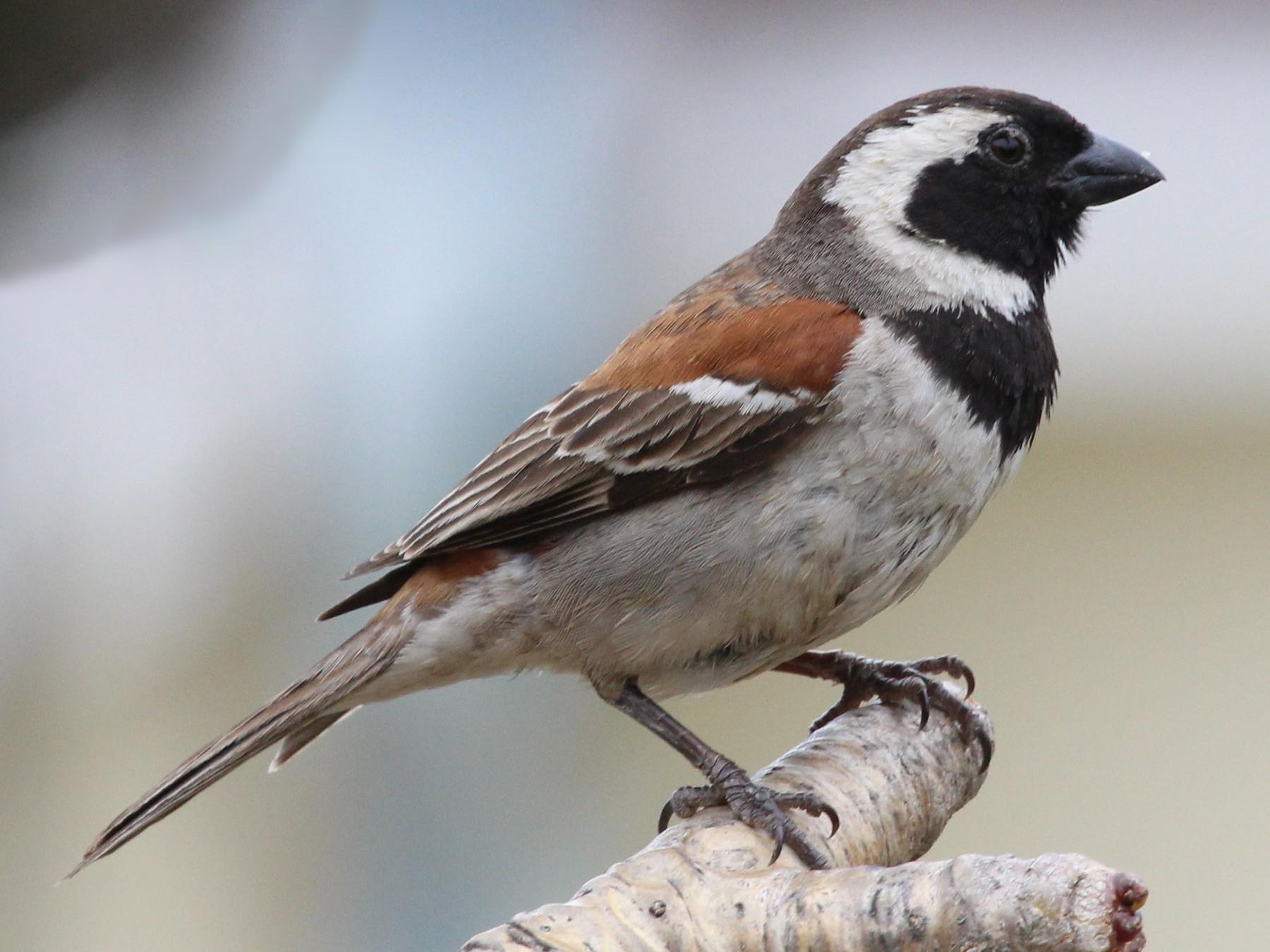 Cape Sparrow - Oliver Lindhiem
