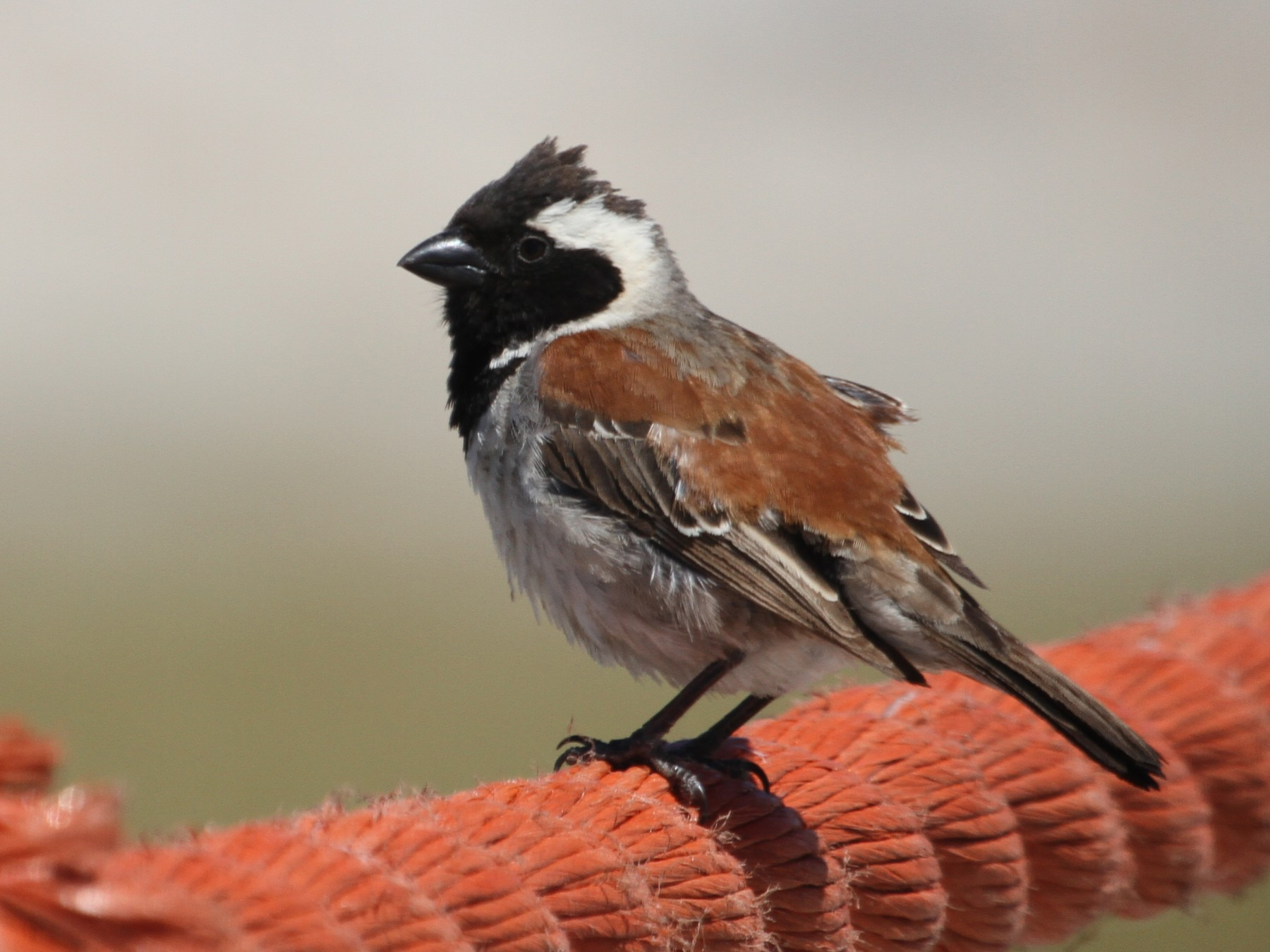 Cape Sparrow - Will Sweet