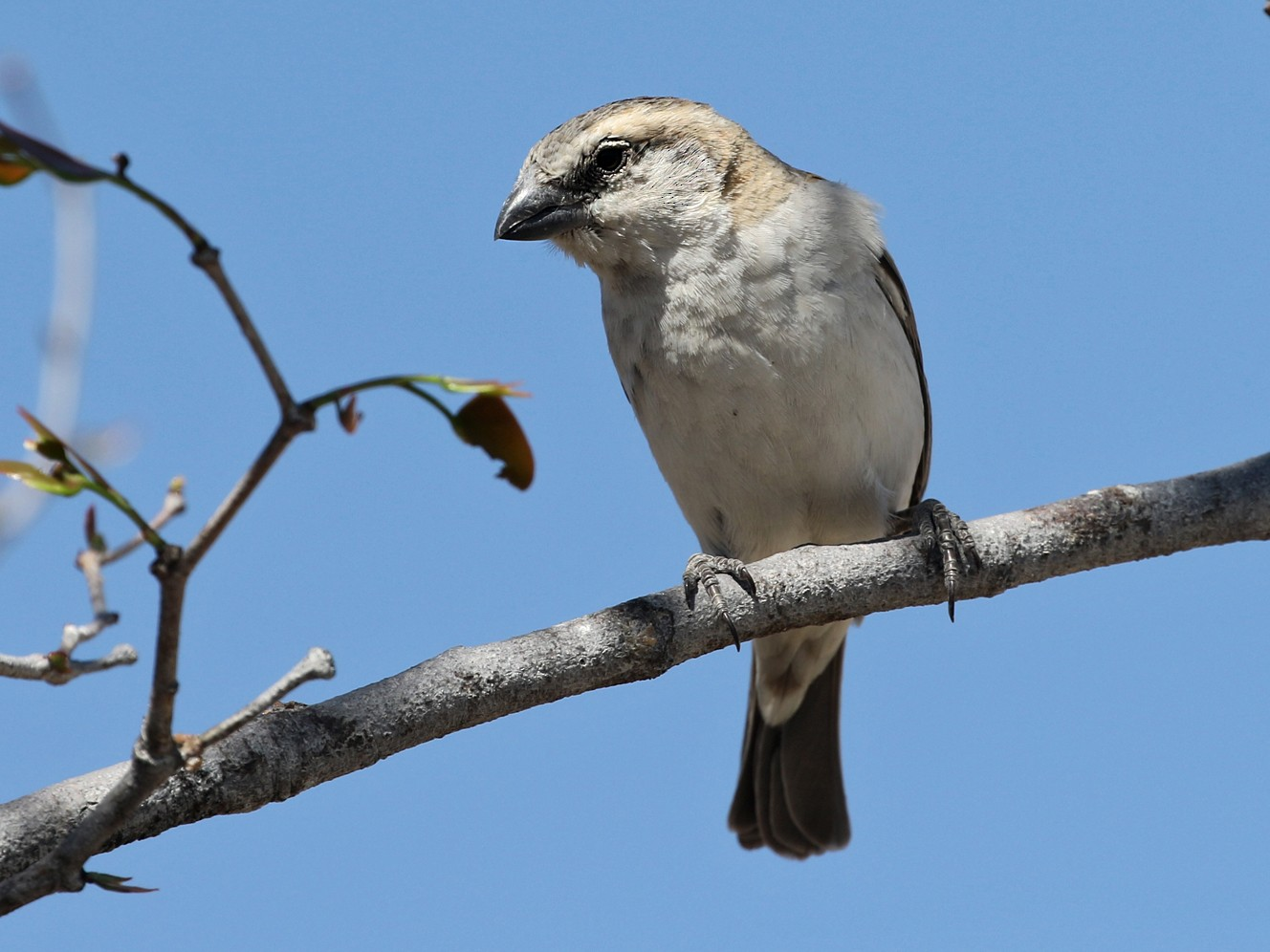 Great Rufous Sparrow - Charley Hesse https://www.schoolofbirding.com/