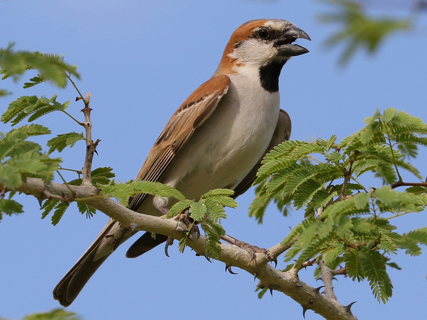 Great Rufous Sparrow - Charlotte Byers