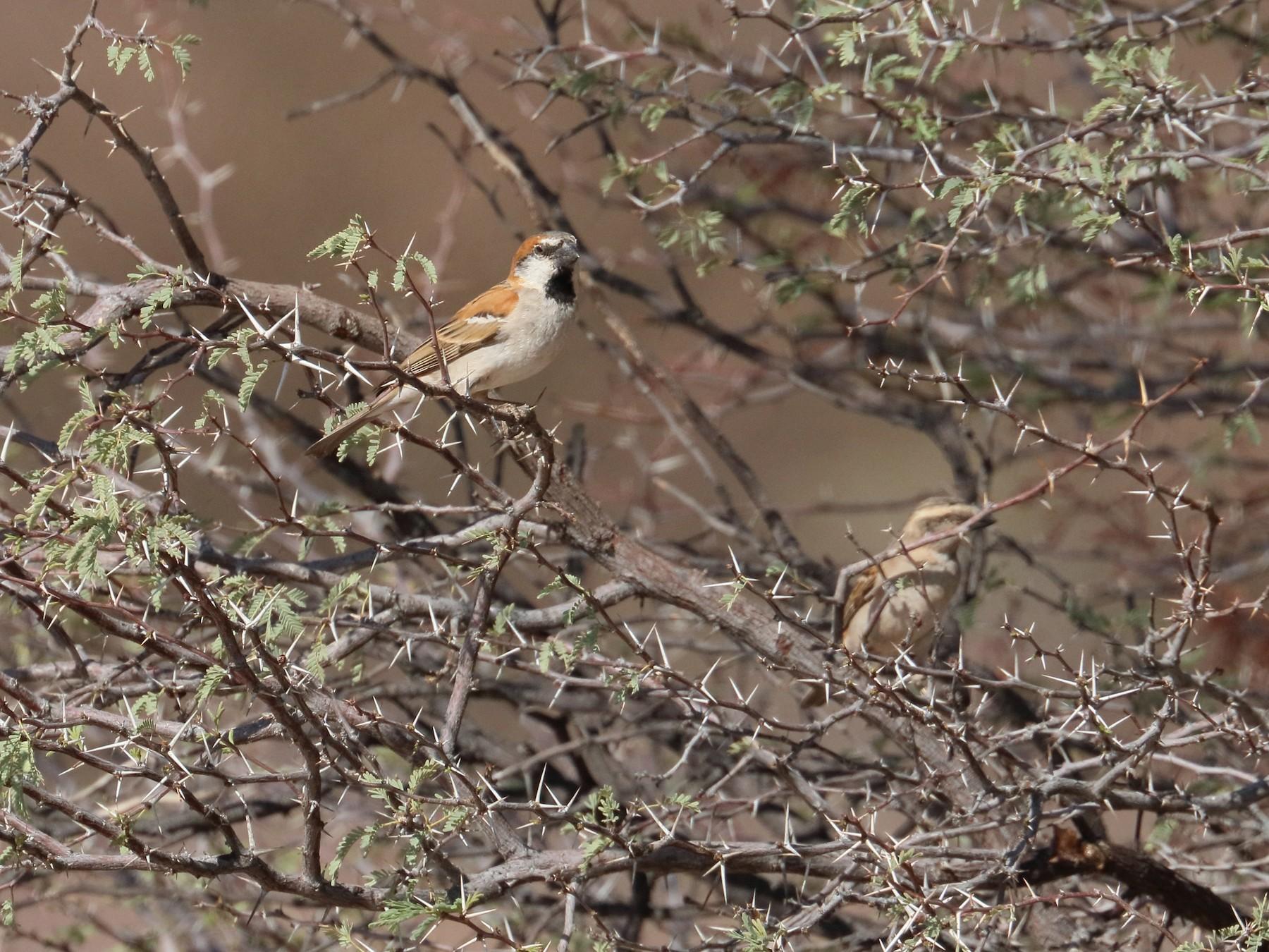 Great Rufous Sparrow - Robert Holland