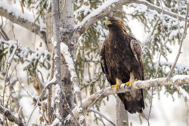 Golden Eagle (Canada).