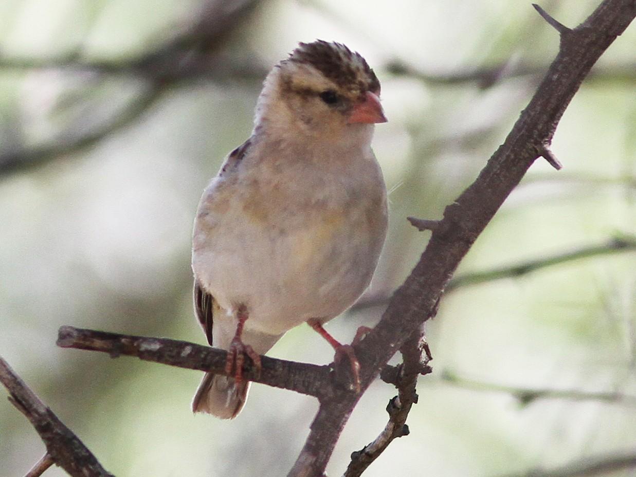 Shaft-tailed Whydah - Daniel Jauvin