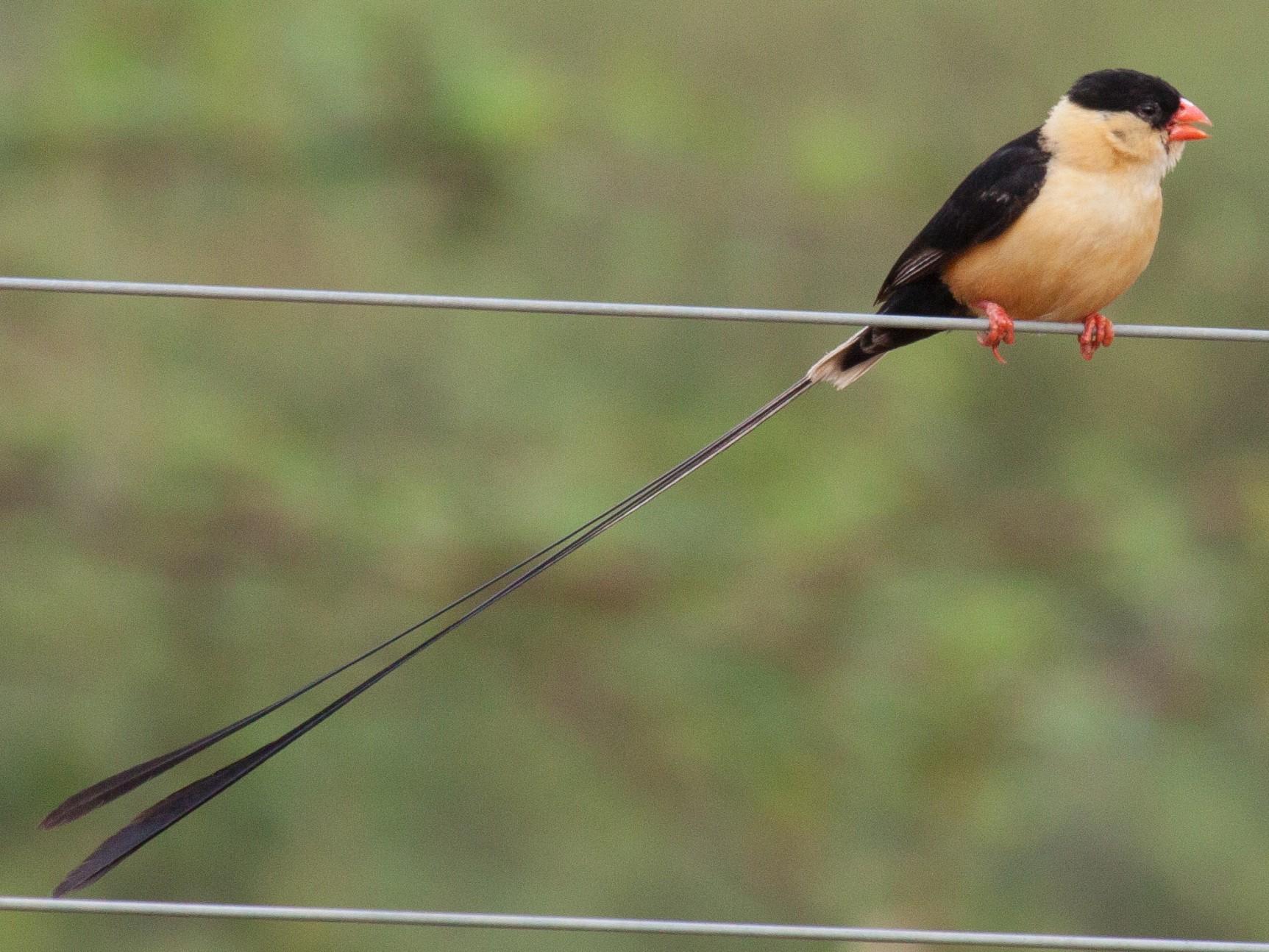 Shaft-tailed Whydah - Craig Faulhaber