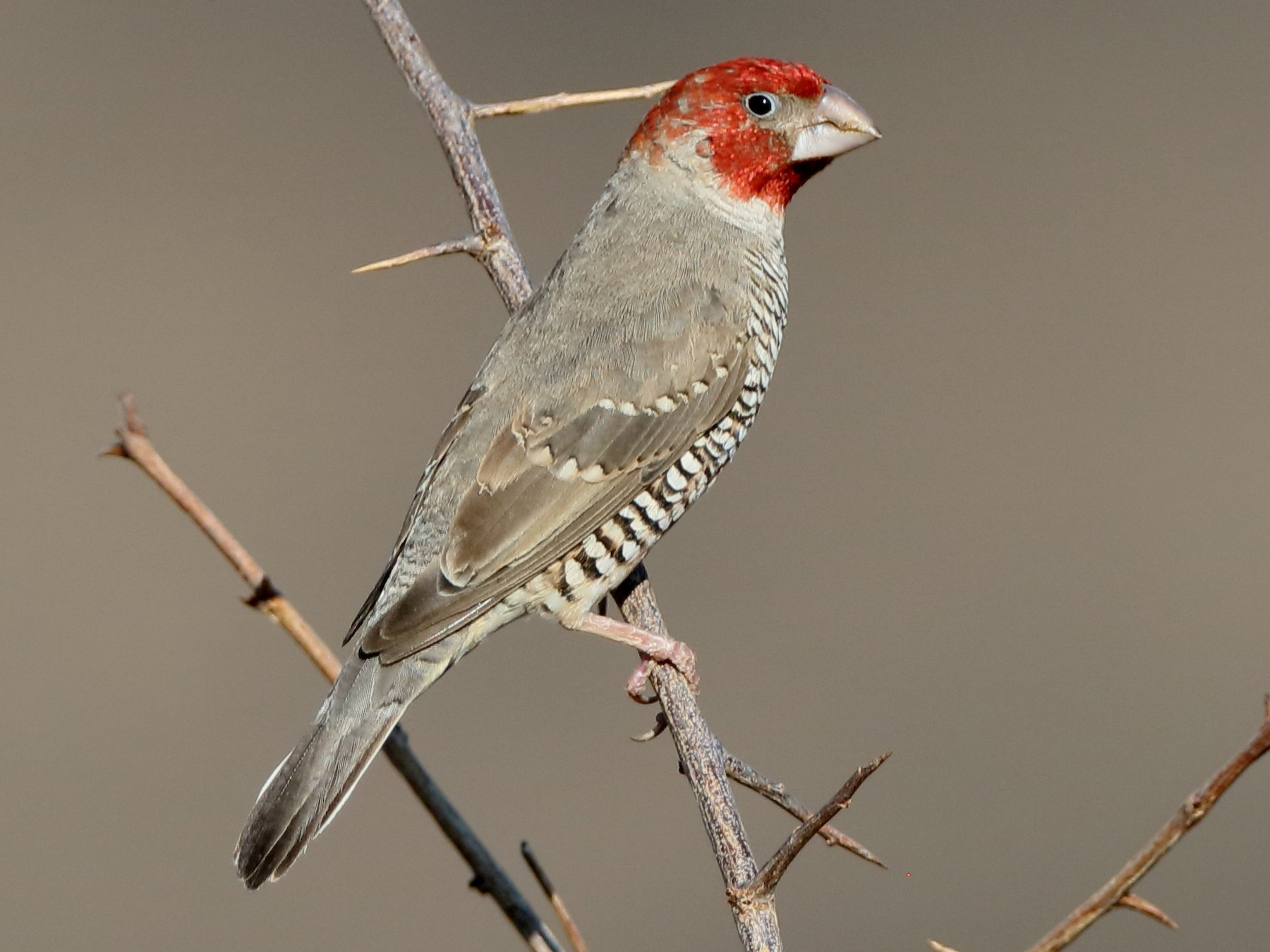 Red-headed Finch - Holger Teichmann