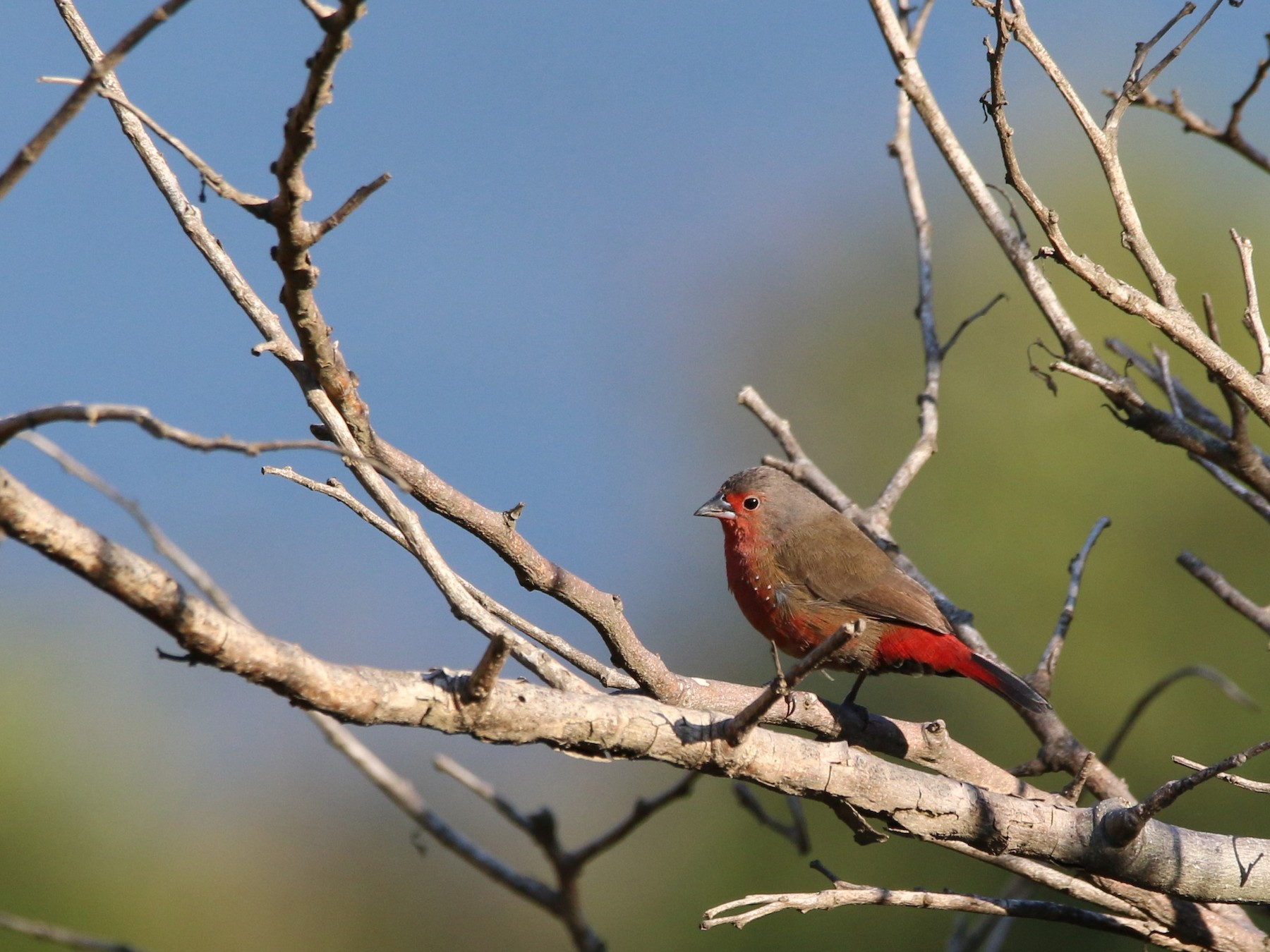 African Firefinch - Wigbert Vogeley