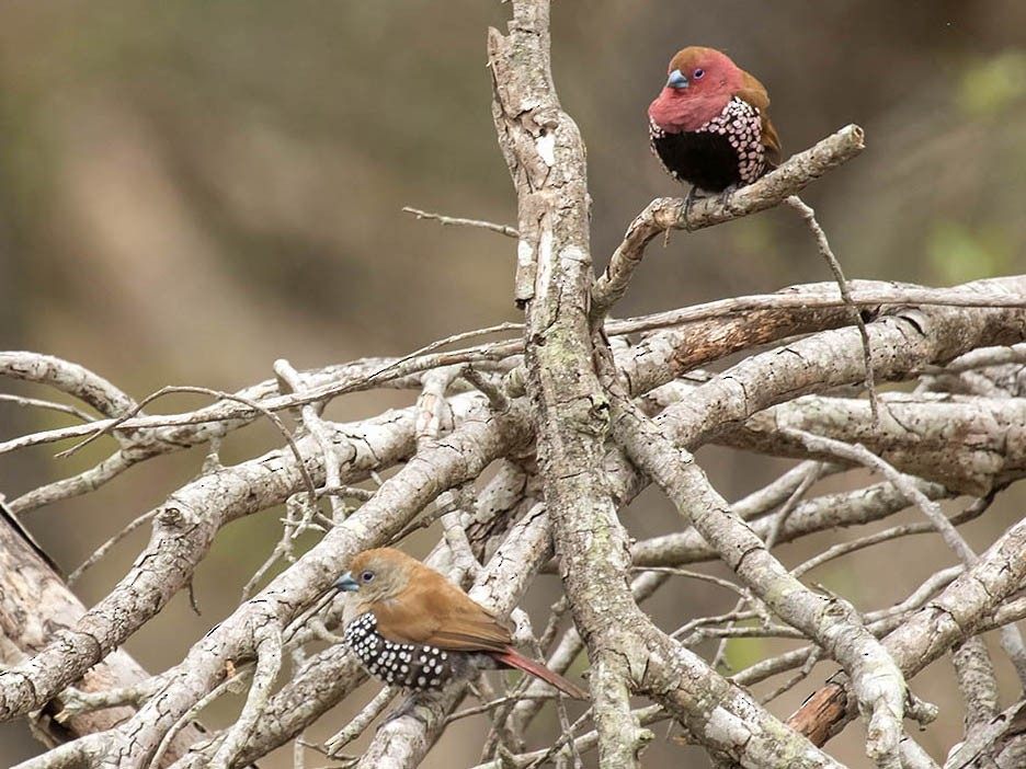 Pink-throated Twinspot - Bruce Ward-Smith