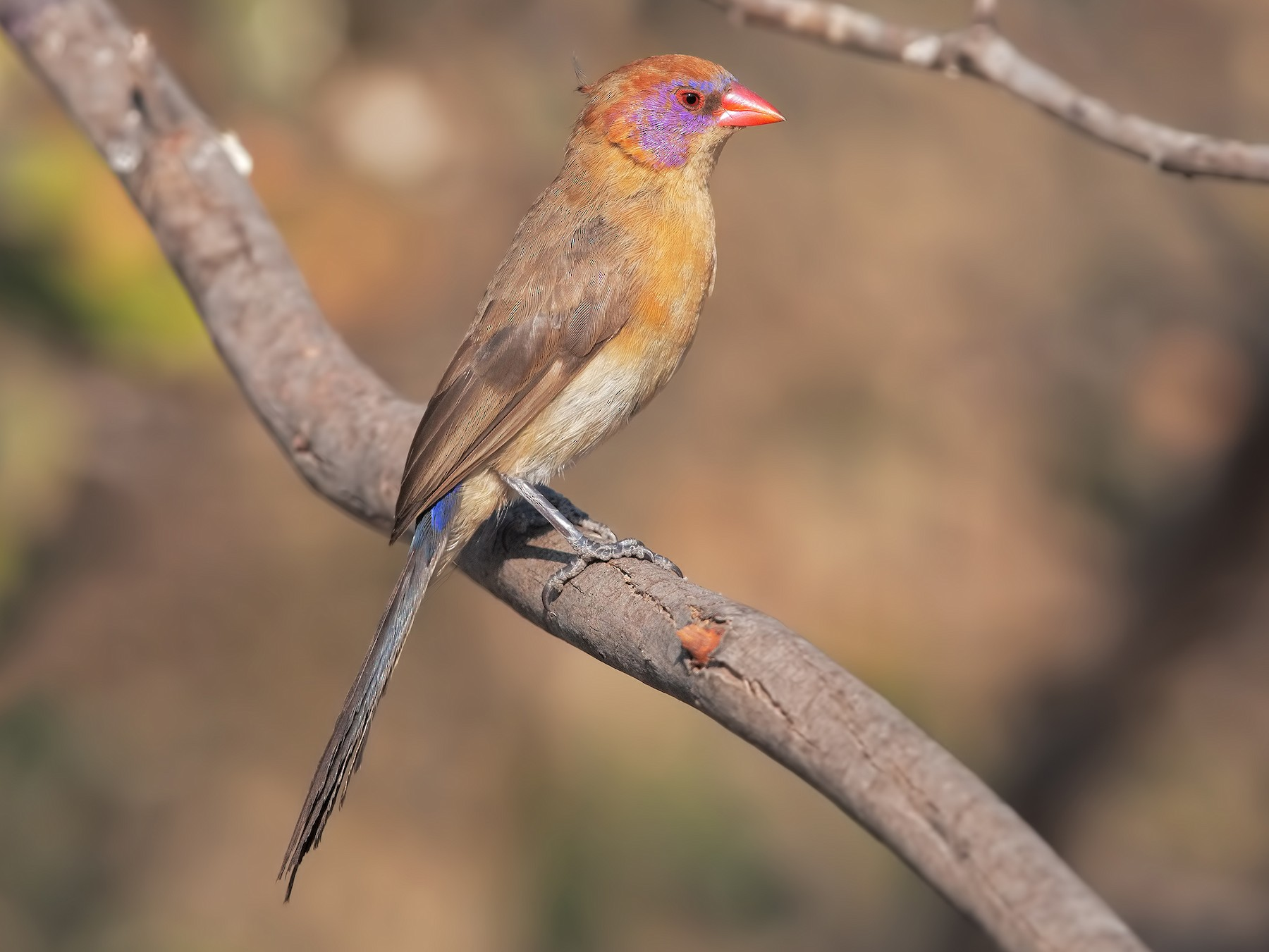 Violet-eared Waxbill - Marco Valentini