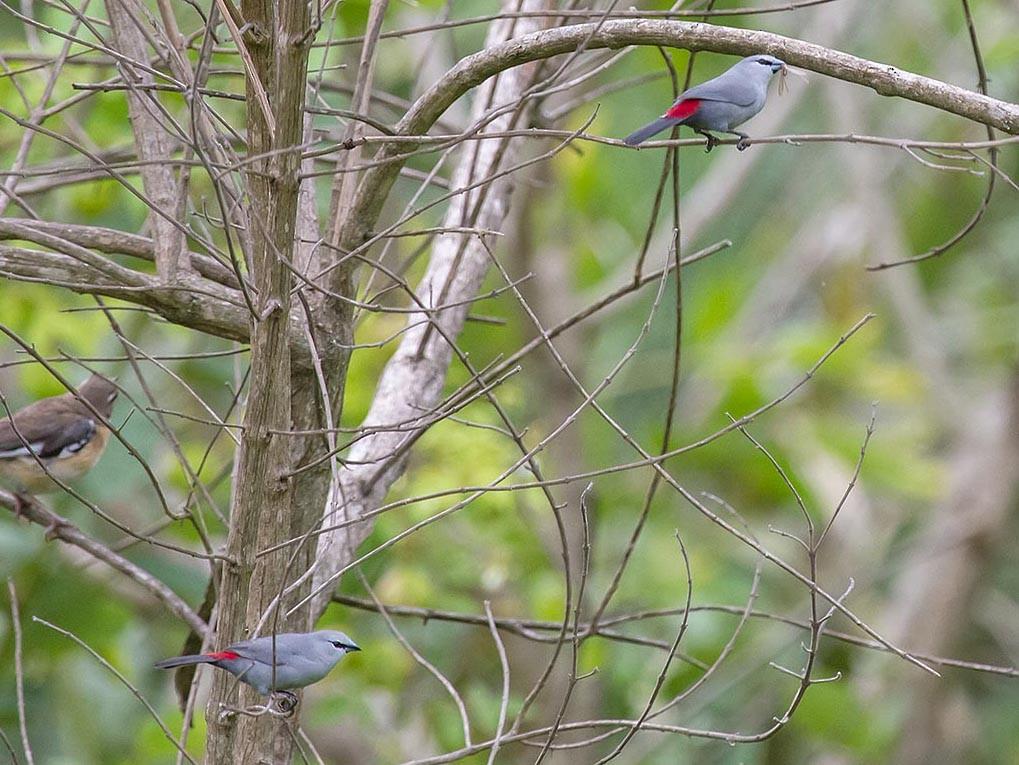 Black-tailed Waxbill - Bruce Ward-Smith