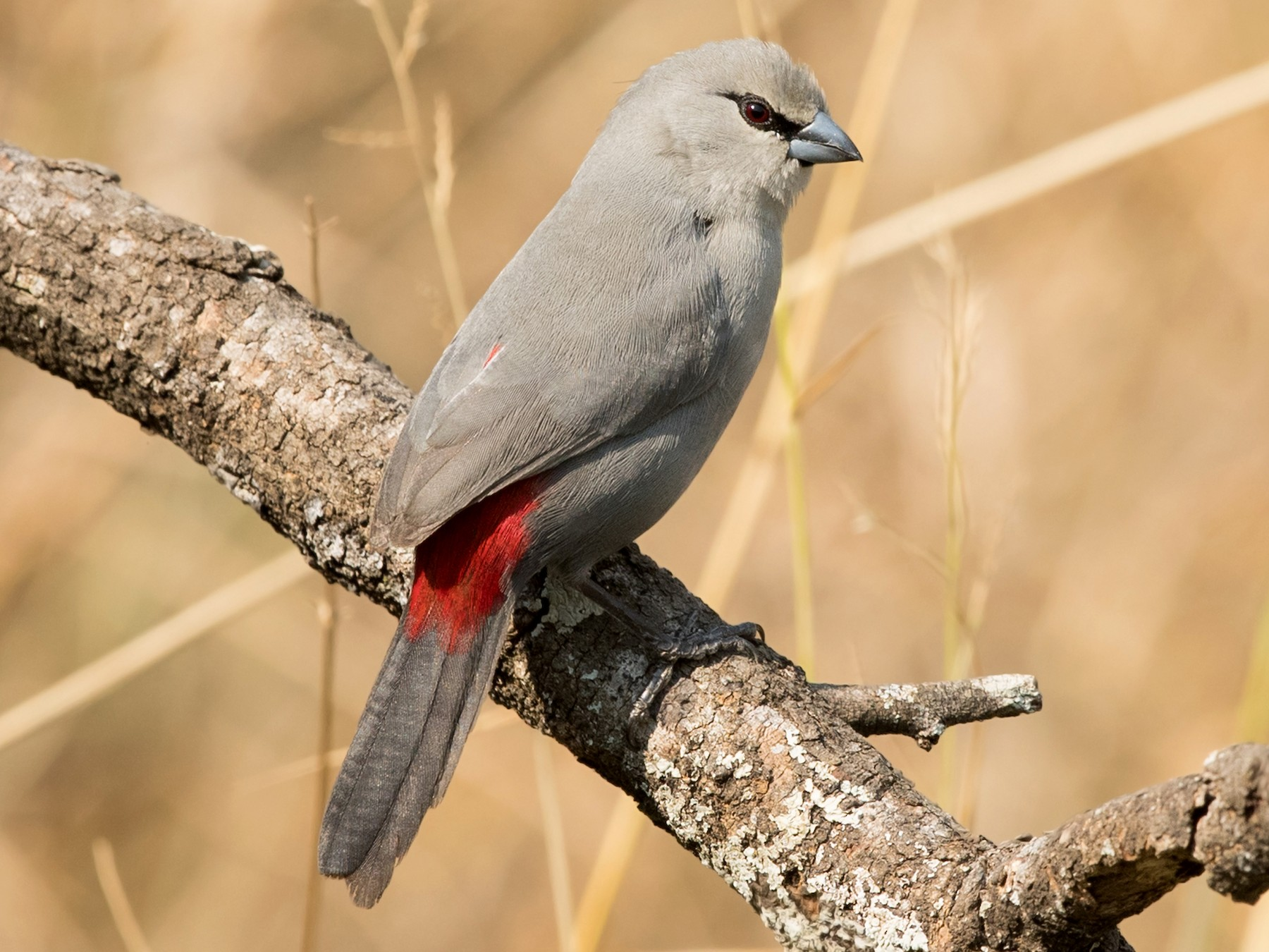 Black-tailed Waxbill - David Irving