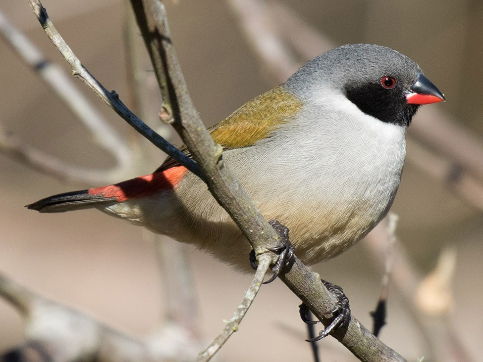 Swee Waxbill - Bruce Ward-Smith