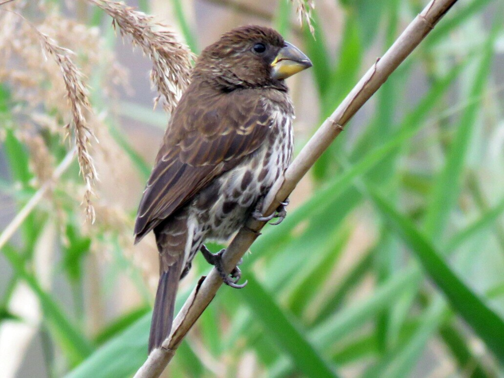 Grosbeak Weaver - Brad Arthur