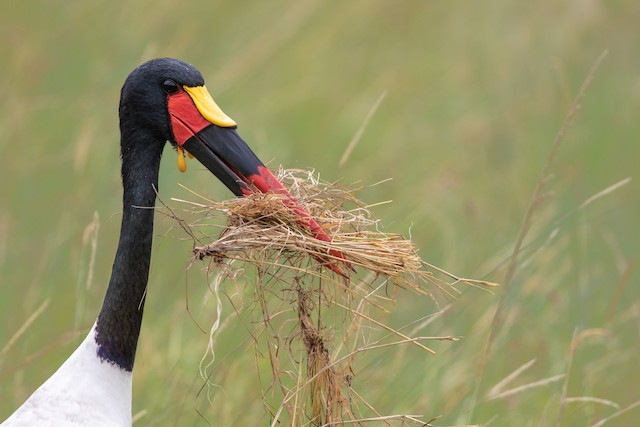 Male collecting nest material.