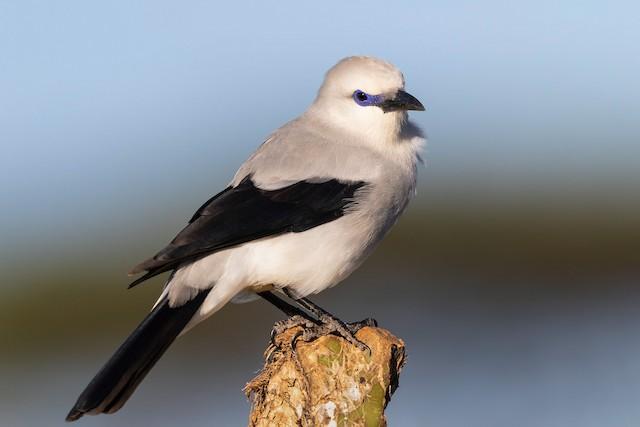 Stresemann's Bush-Crow