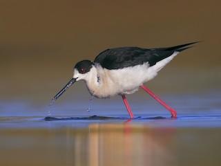 - Black-winged Stilt
