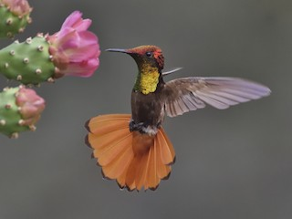 - Ruby-topaz Hummingbird
