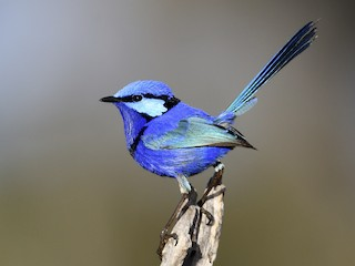 - Splendid Fairywren