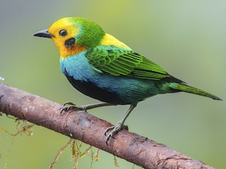 - Multicolored Tanager