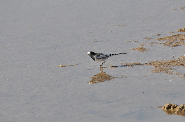 White Wagtail (Masked)