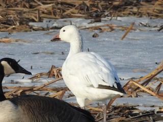 Snow Goose, ML212921741