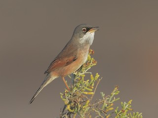 - Spectacled Warbler