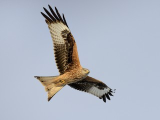 - Red Kite (Red)