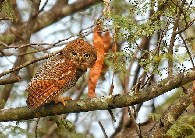 ©Renuka Vijayaraghavan - Jungle Owlet