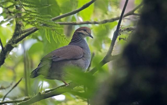 Russet-crowned Quail-Dove