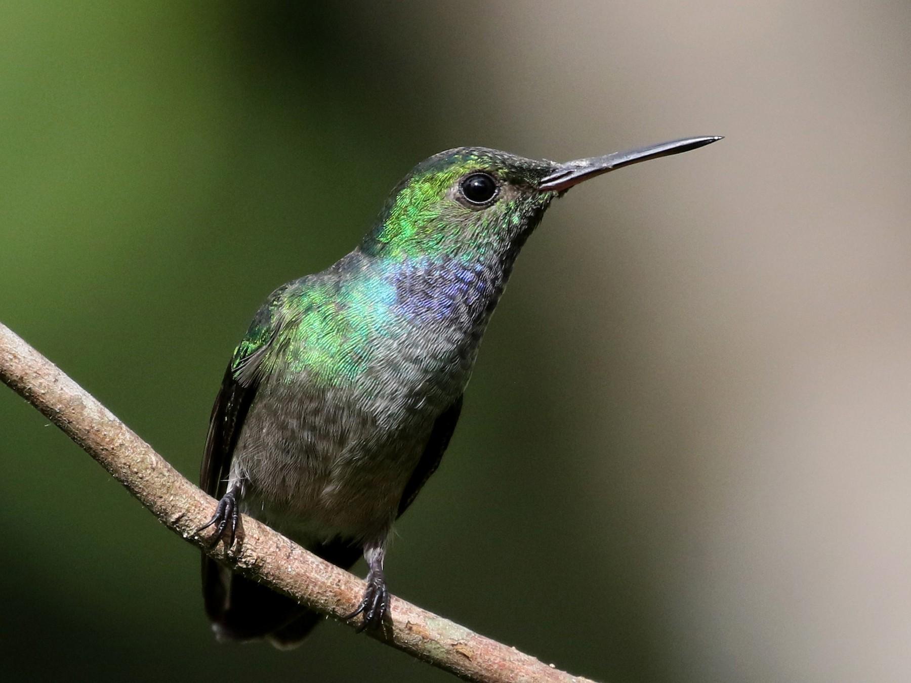 Blue-chested Hummingbird - Jay McGowan