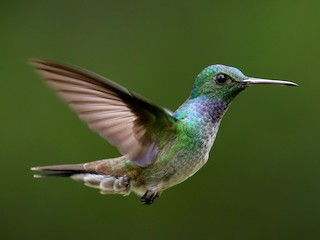 - Blue-chested Hummingbird