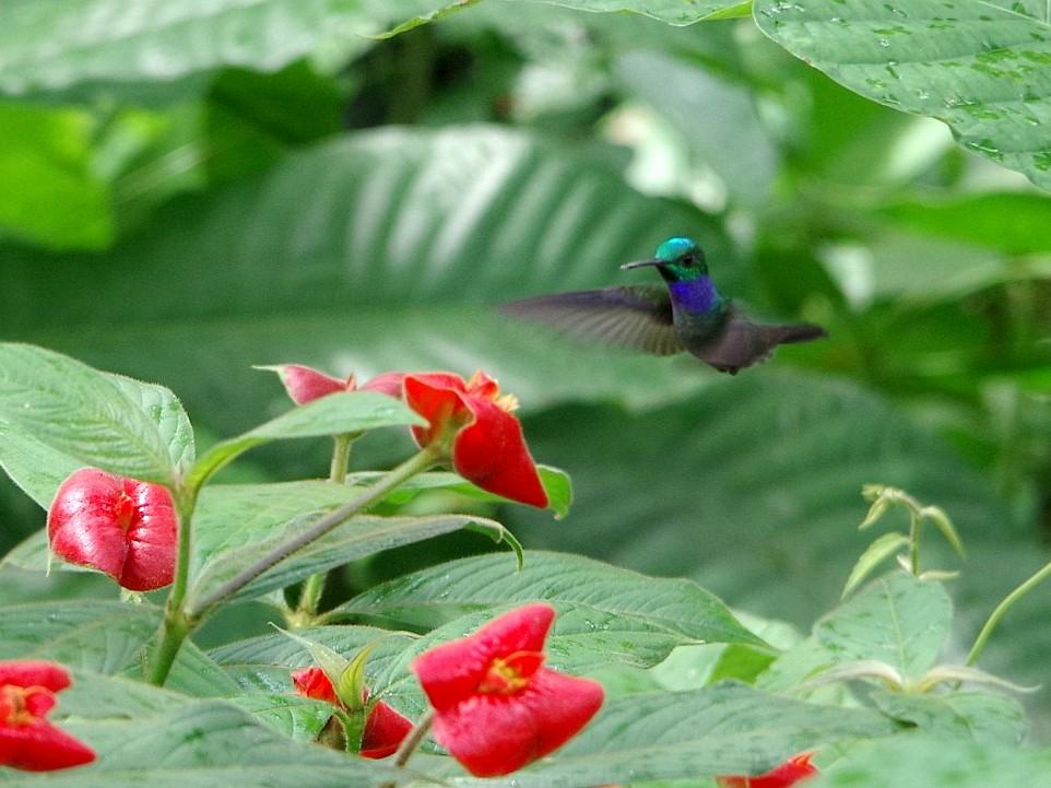 Blue-chested Hummingbird - Michał B