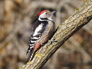 - Middle Spotted Woodpecker