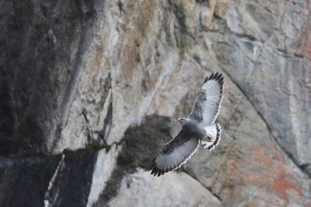 Variable Hawk (Puna)