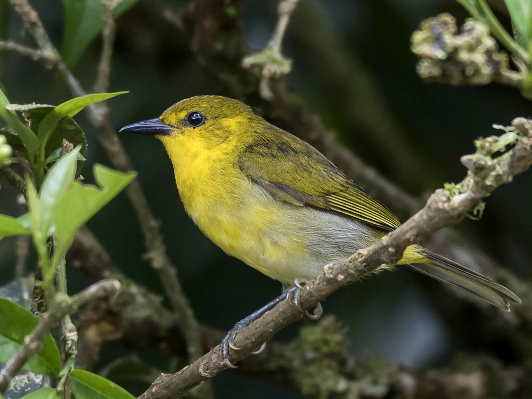 Black-and-yellow Tanager - fernando Burgalin Sequeria
