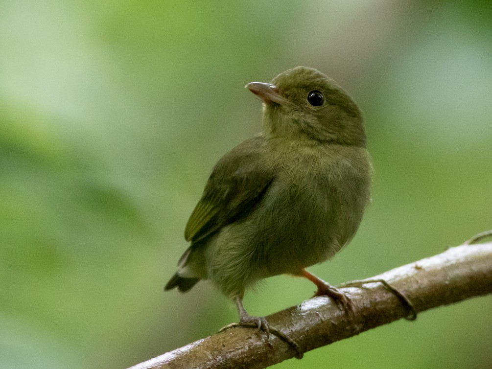 Red-capped Manakin - Tom Johnson