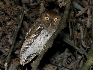 - Choco Screech-Owl