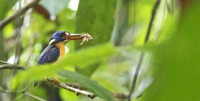 New Britain Dwarf-Kingfisher