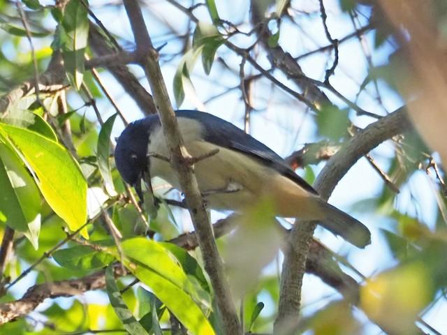 Blue Vanga with prey item.