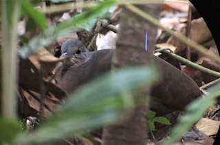 Little Tinamou, ML213257971