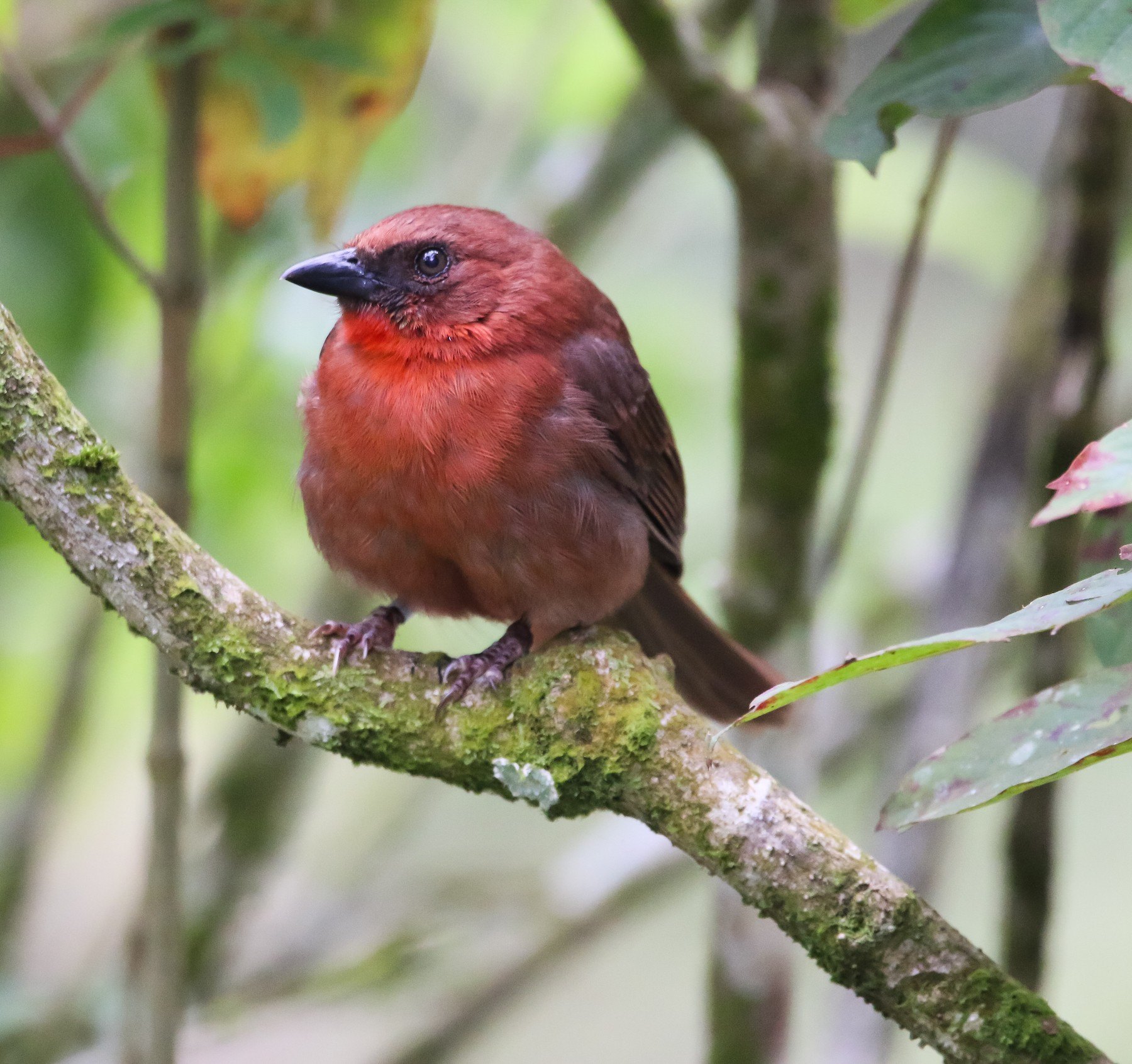 Red-throated Ant-Tanager - Isaias morataya