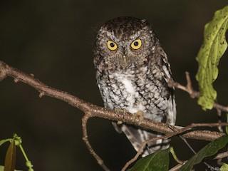 - Bearded Screech-Owl