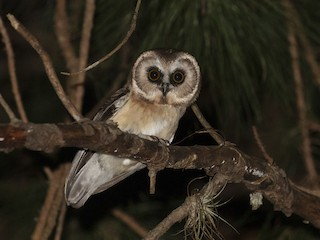 - Unspotted Saw-whet Owl