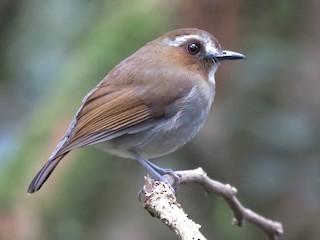 - Eyebrowed Jungle-Flycatcher