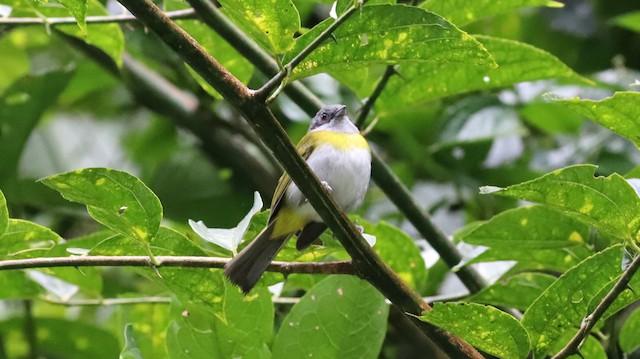Ashy-throated Chlorospingus (Ashy-throated)