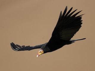 - Greater Yellow-headed Vulture
