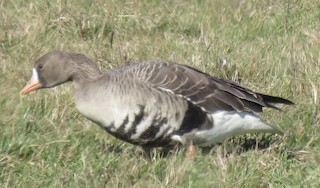 Greater White-fronted Goose, ML21337821