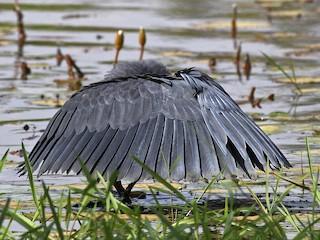 - Black Heron