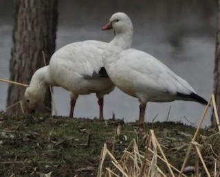 Ross's Goose, ML213459841
