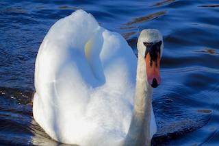 Mute Swan, ML213534031