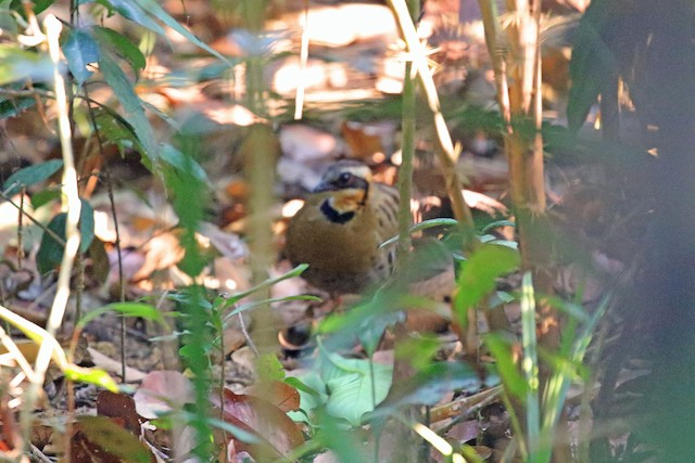Orange-necked Partridge